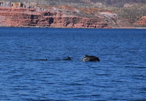 Dolphins outside Puerto Los Gatos